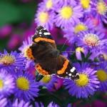 vlinder620